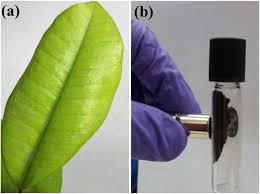 Myrtle pepper leaf used for synthesizing the nanoparticles by the researchers at IIT Indore