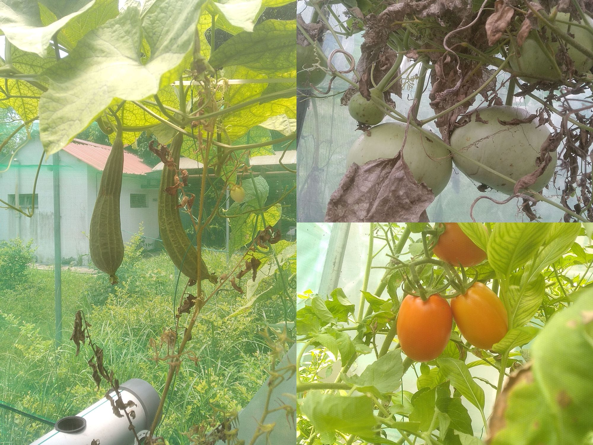 Produce by IIT Kharagpur's Automated Aquaponics Project